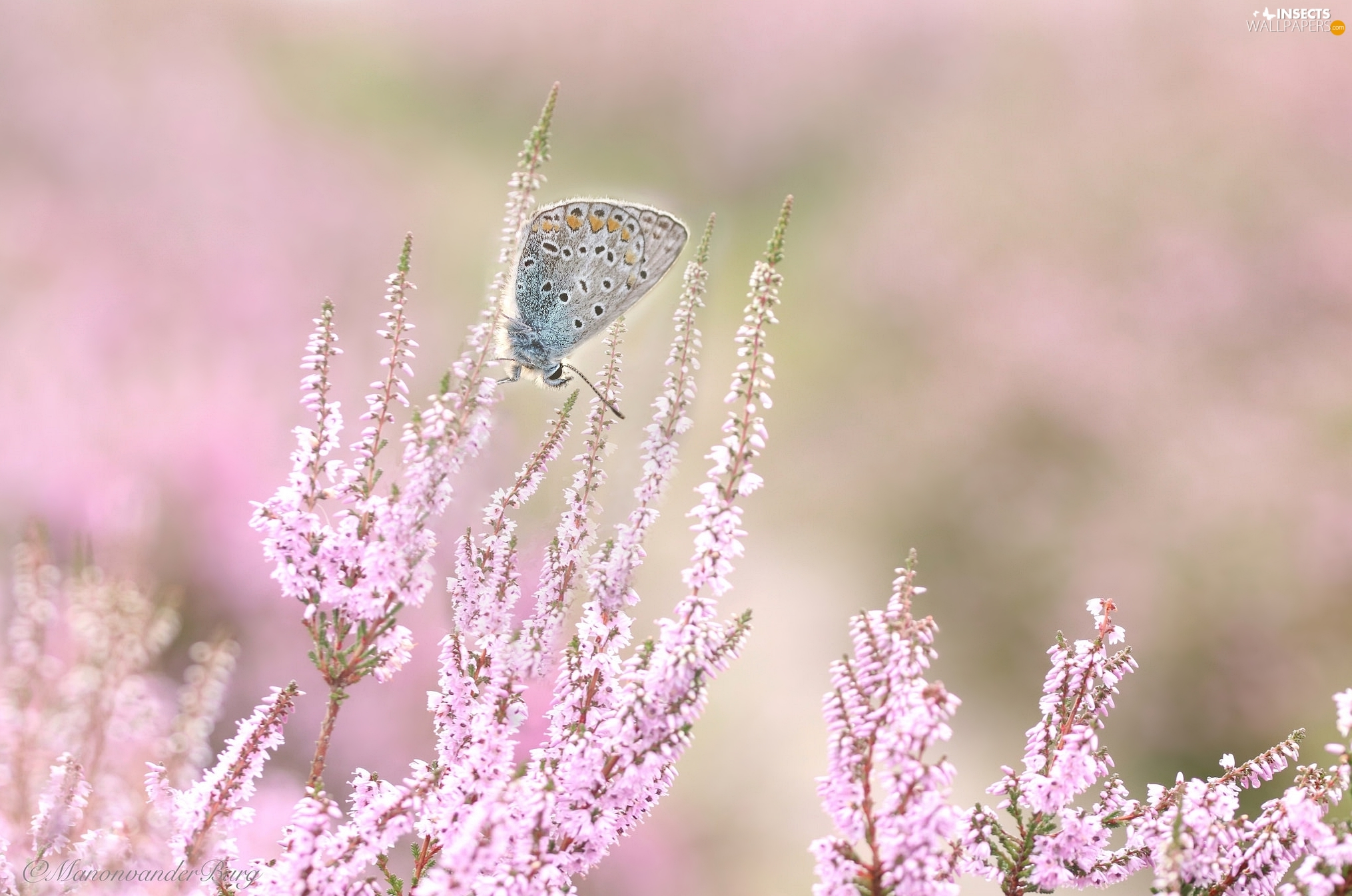 Dusky Icarus, heather, butterfly