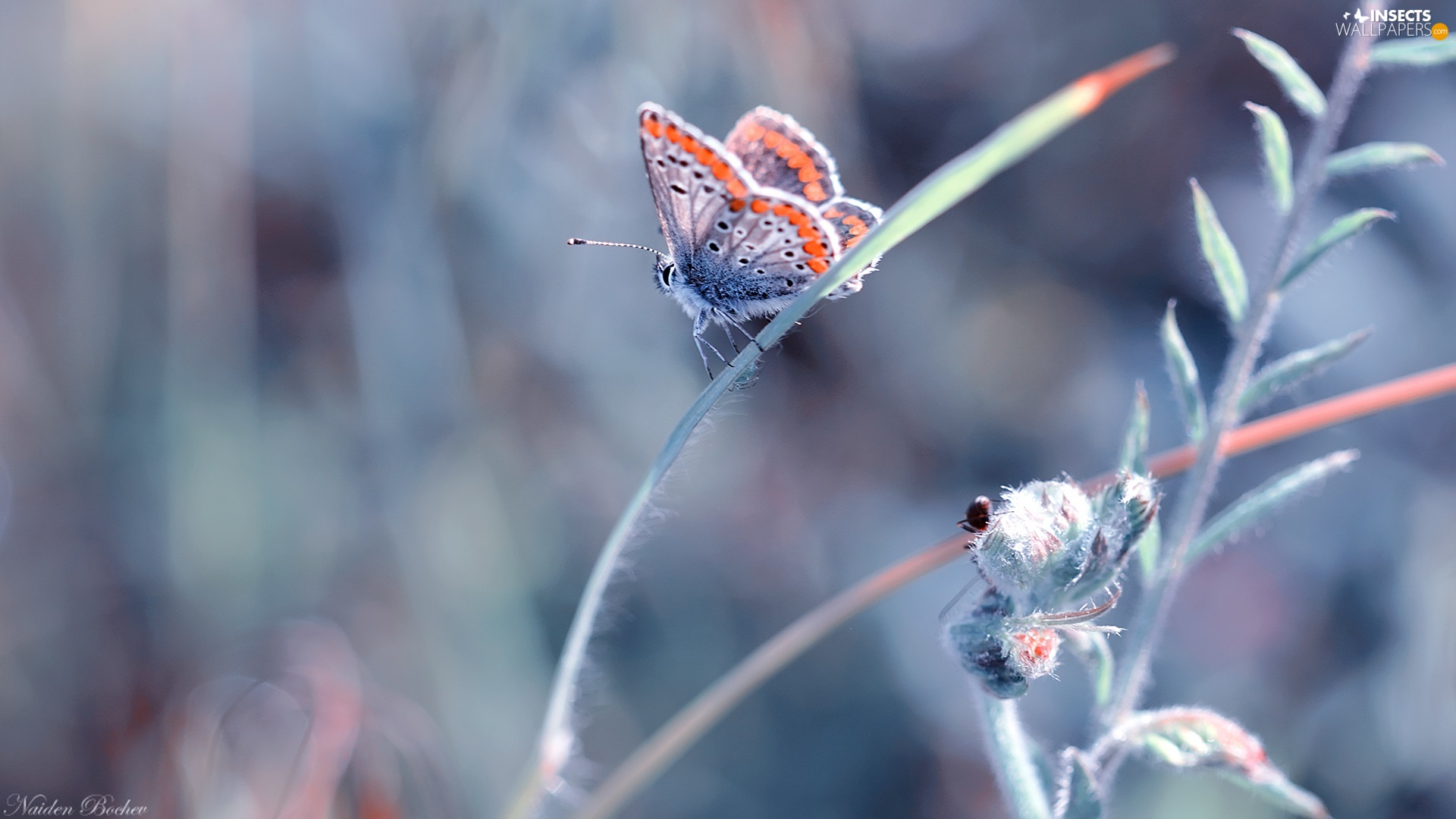plant, blurry background, Adonis Blue, stalk, butterfly