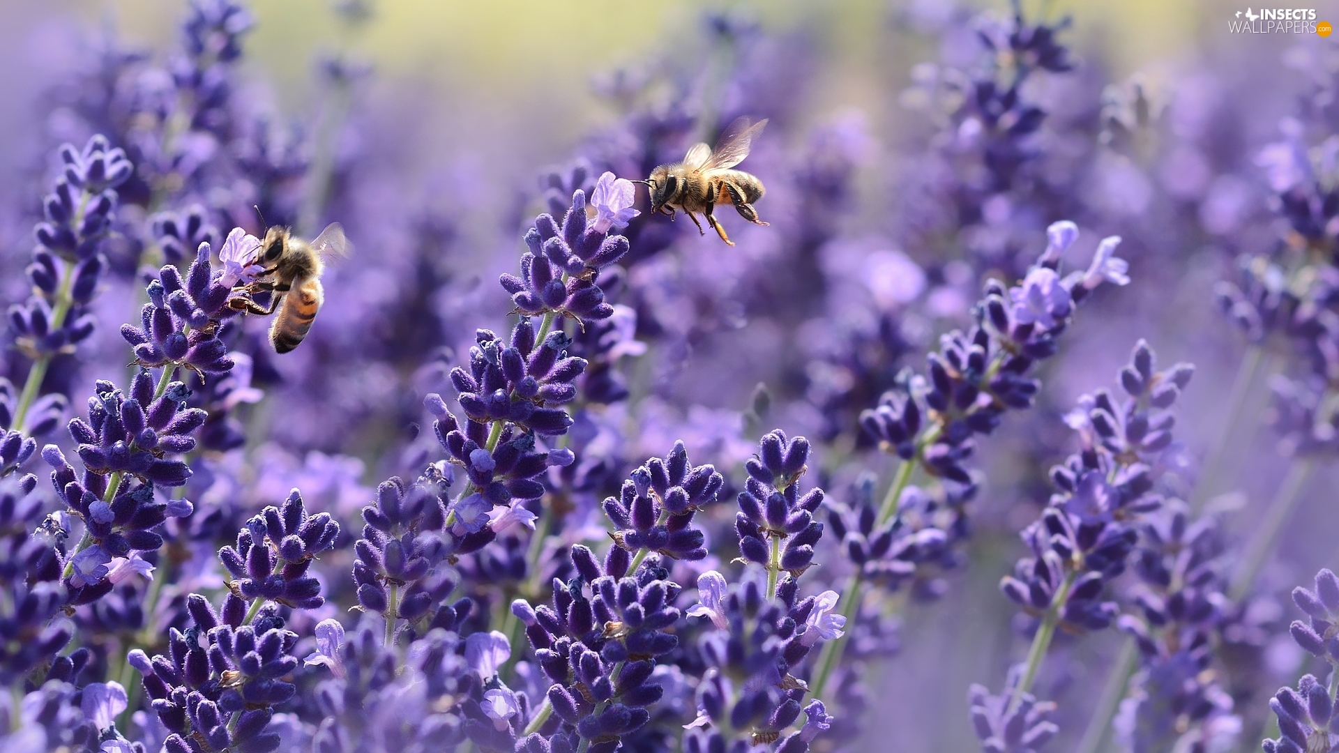 Bees, lavender, Two