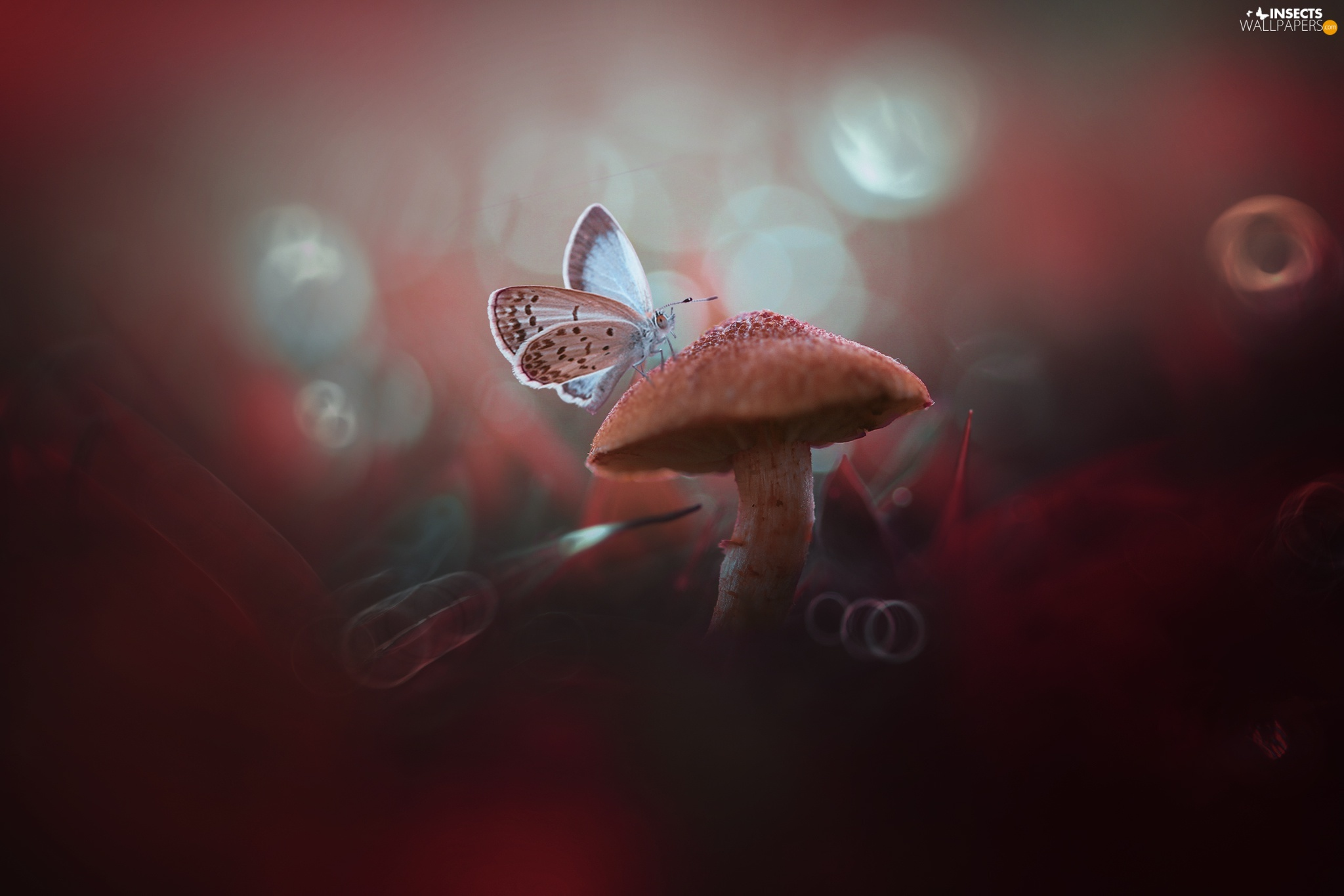 Mushrooms, Dusky Icarus, blurry background, butterfly