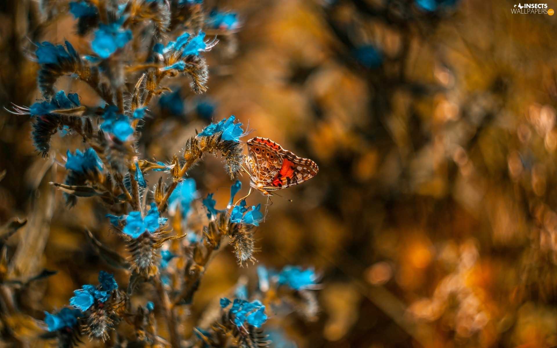 Blue, butterfly, Painted Lady, Flowers