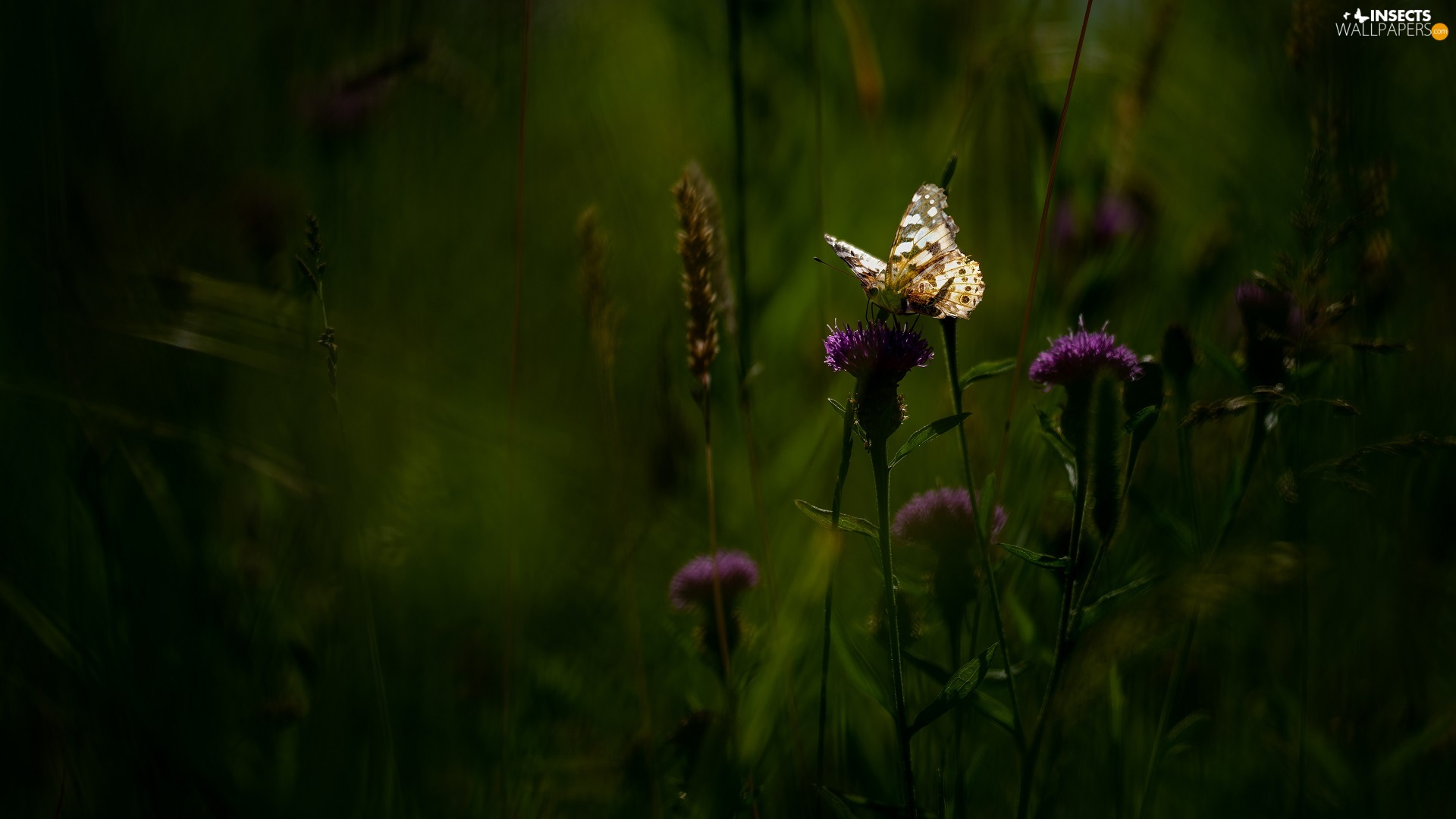 butterfly, Flowers, Thistle