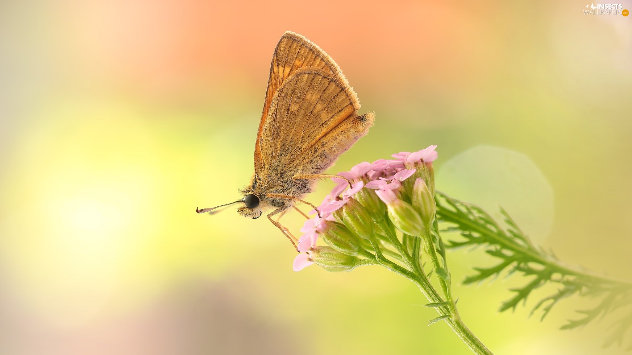 butterfly, Colourfull Flowers, Close, Pink