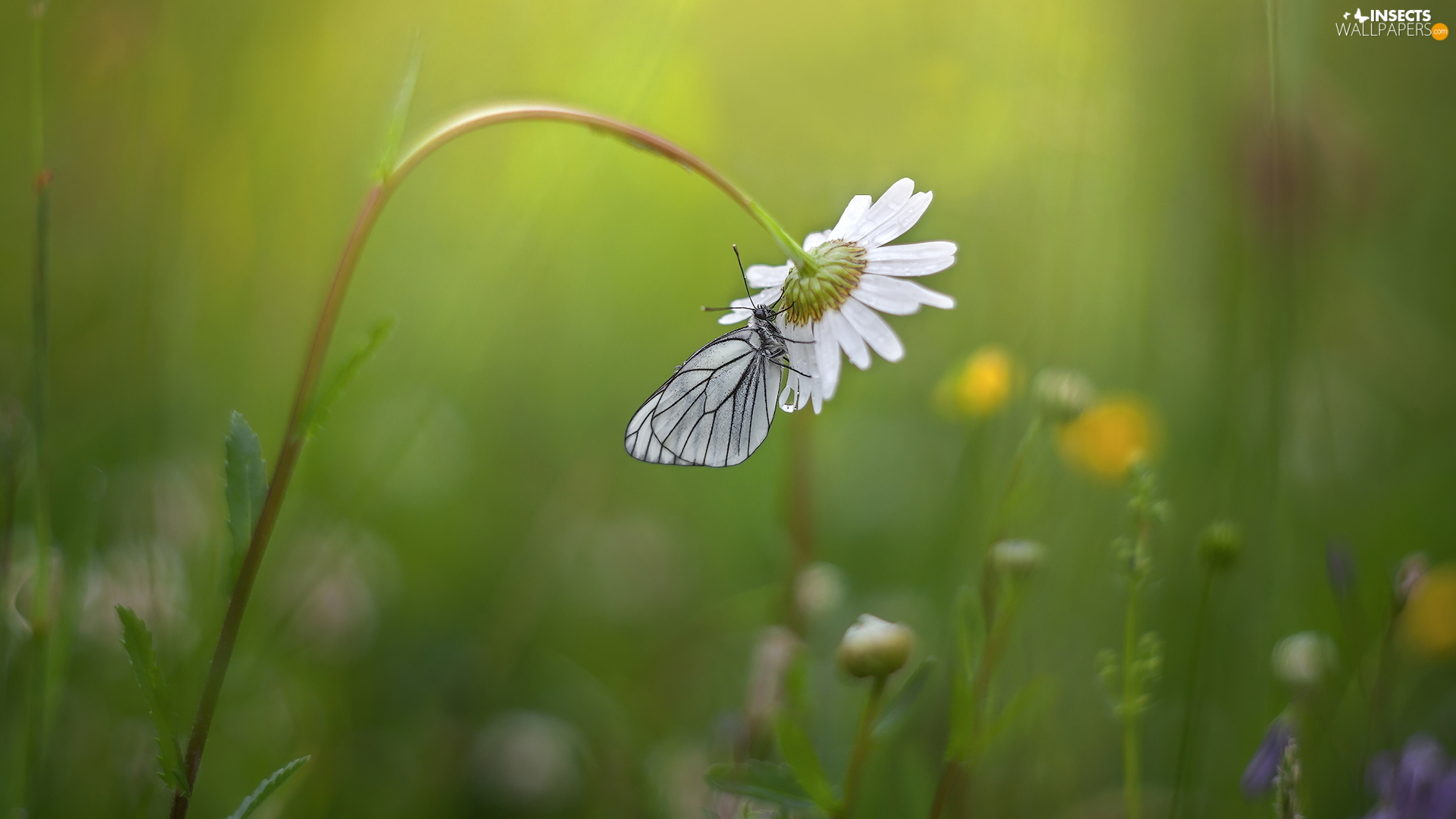 butterfly, Colourfull Flowers, Daisy, Black-veined White
