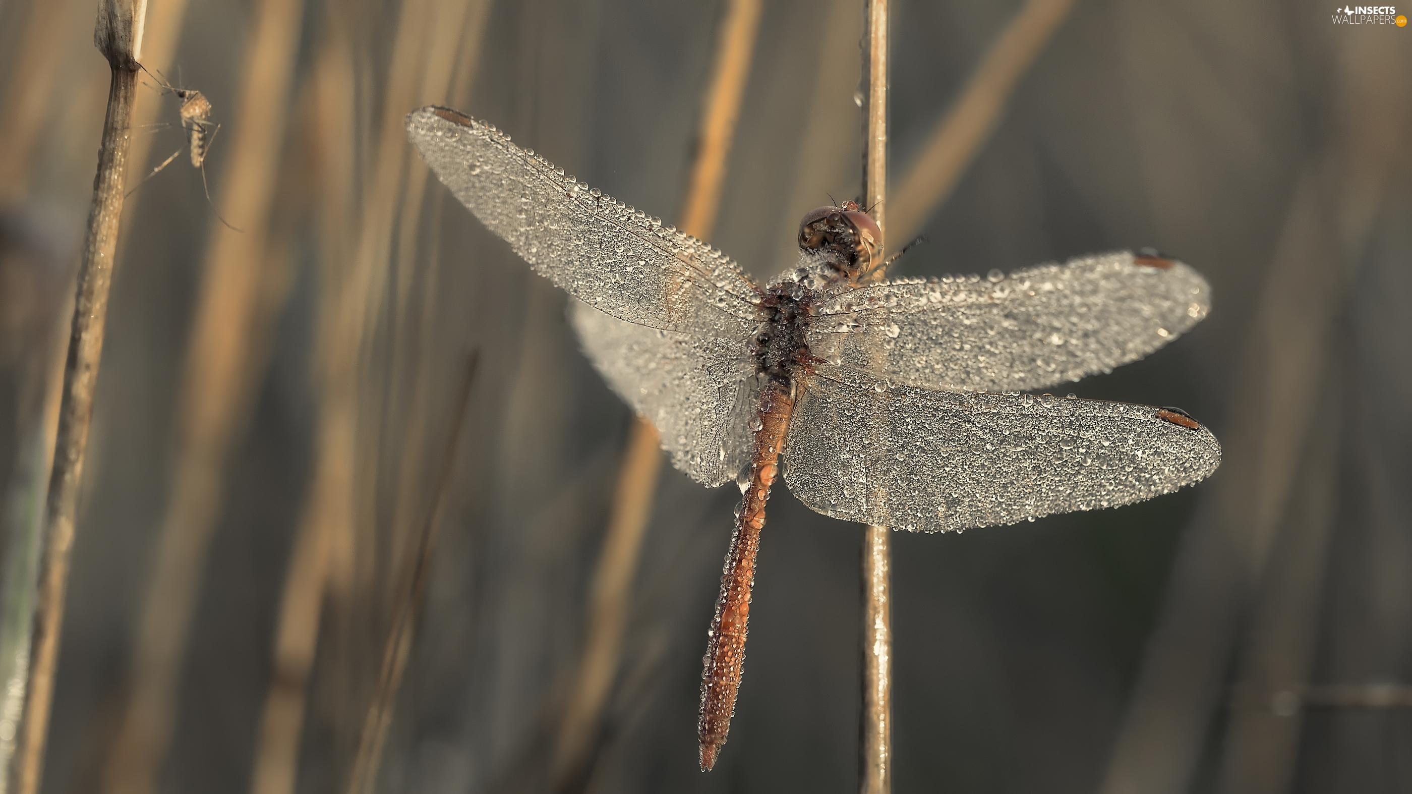 dragon-fly, wings, drops, wet