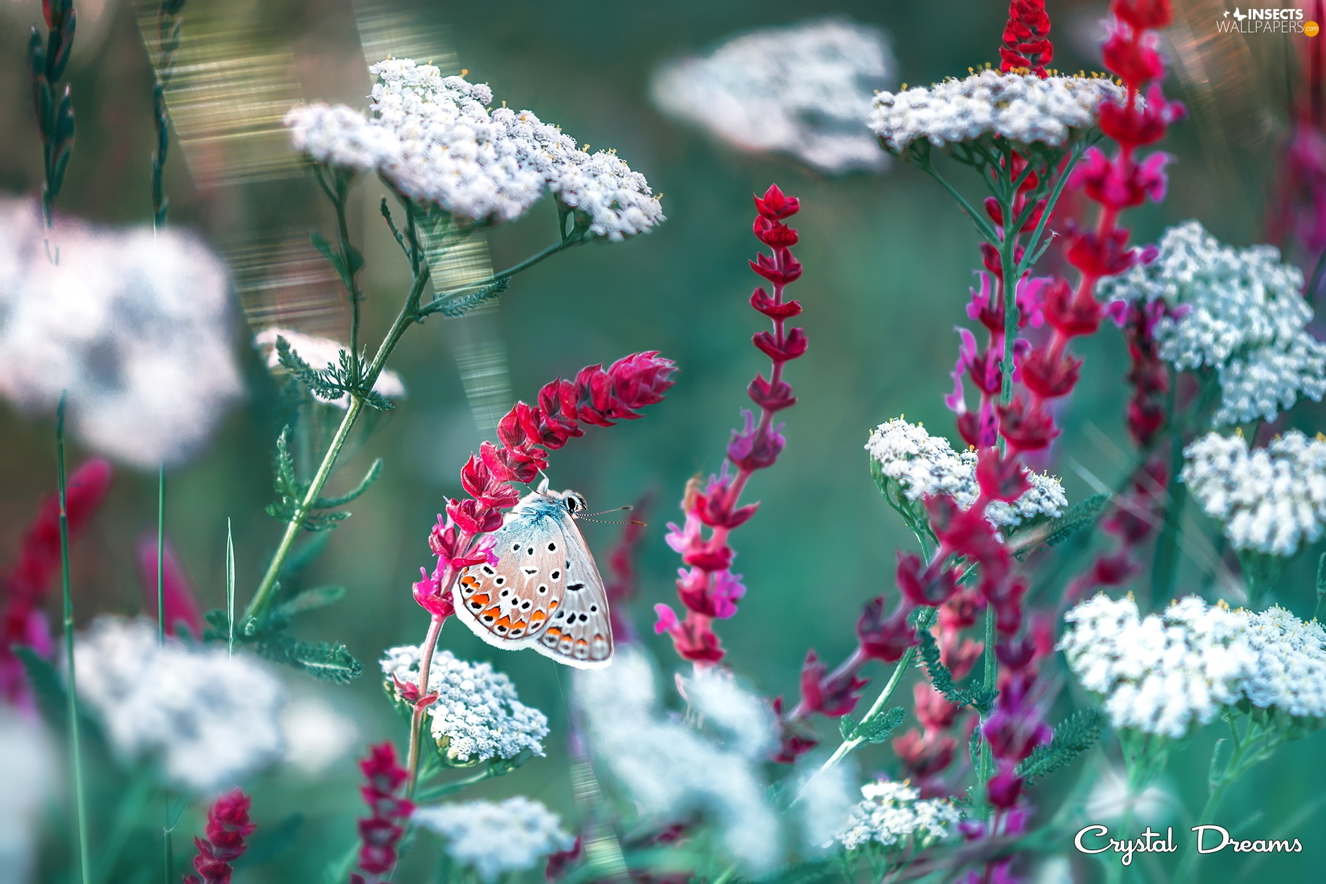Red, Flowers, Dusky Icarus, White, butterfly