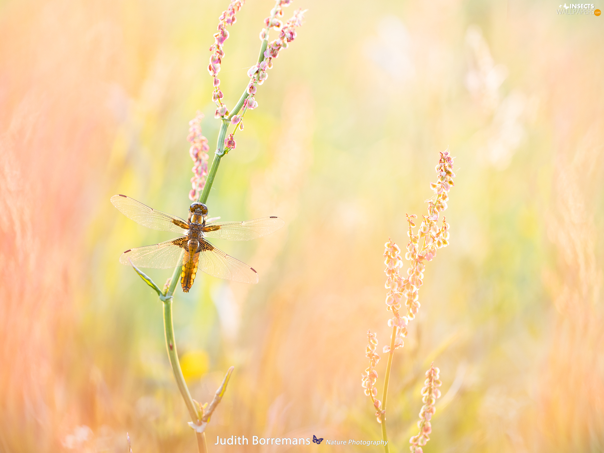 plant, Insect, Broad-bodied Chaser