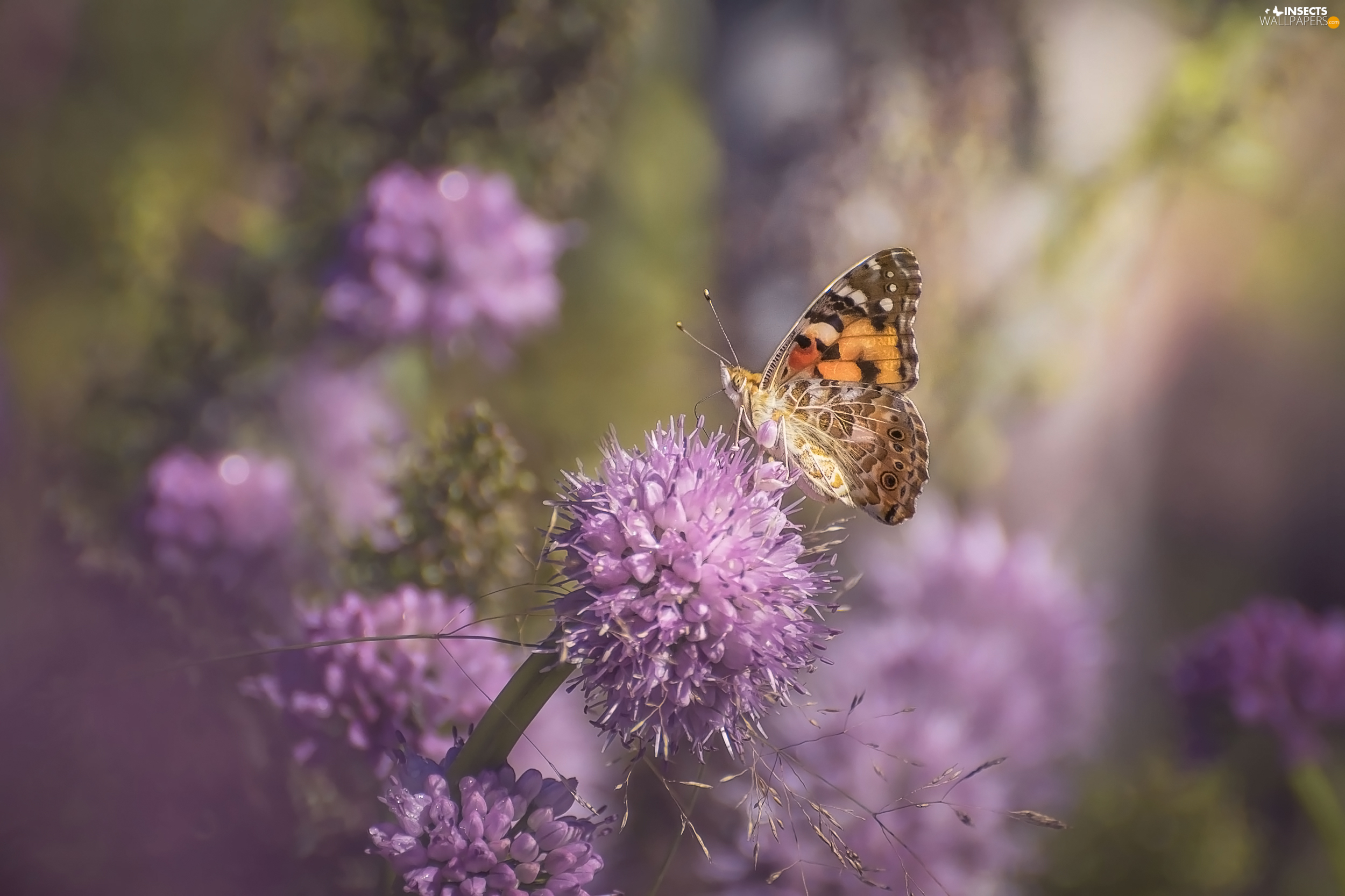 butterfly, lilac, Flowers, Painted Lady