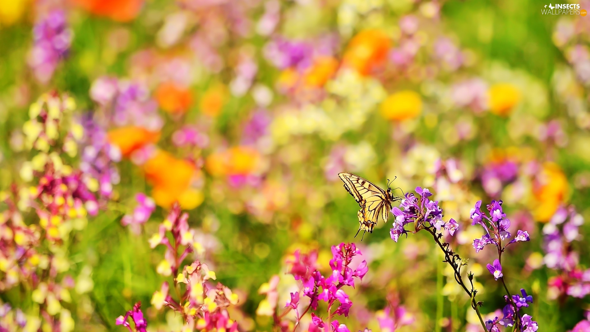 color, butterfly, Oct Queen, Flowers