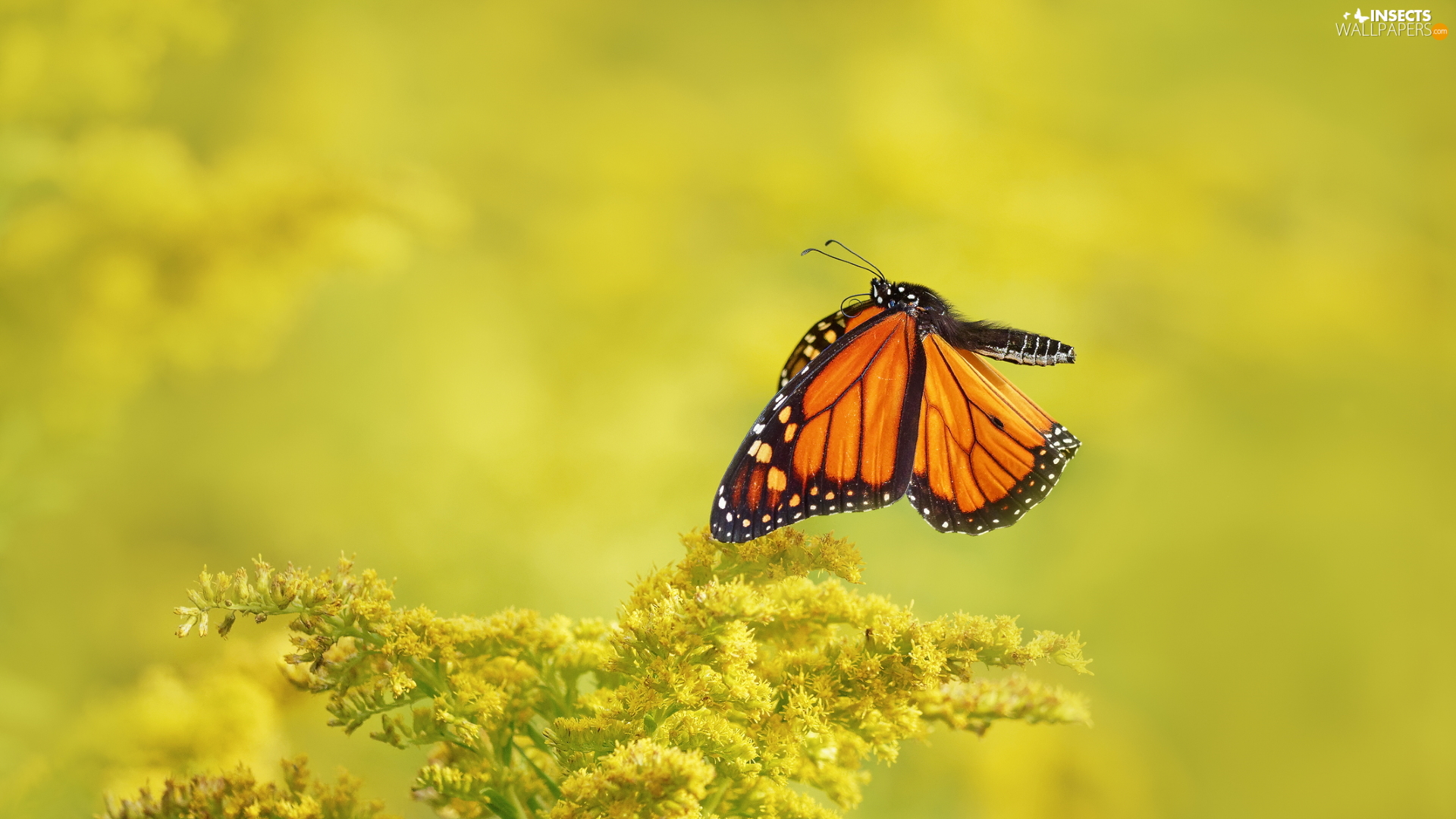 butterfly, Yellow Honda, plant, Monarch Butterfly