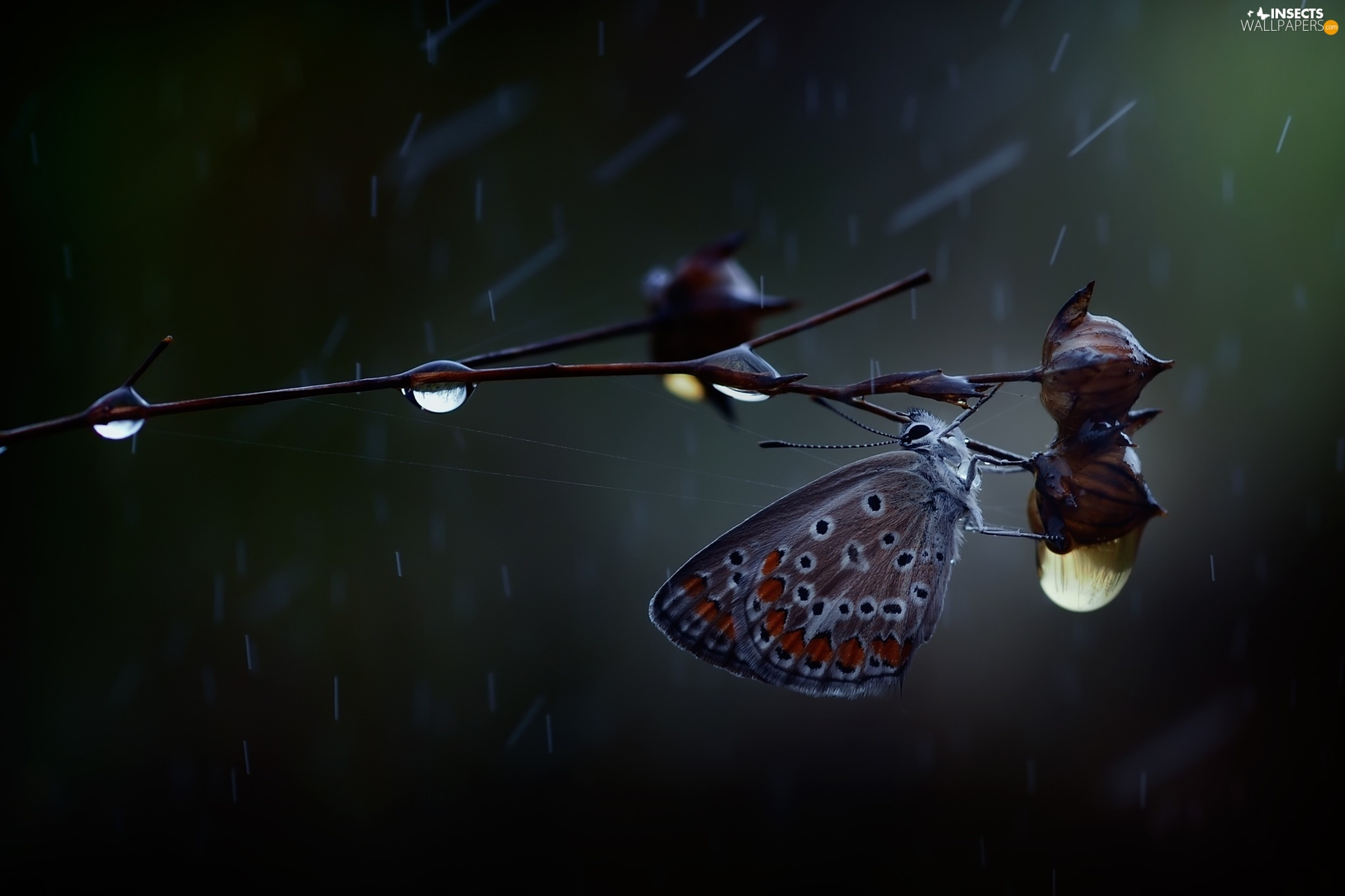 twig, butterfly, drops, Rain, The herb, Dusky Icarus