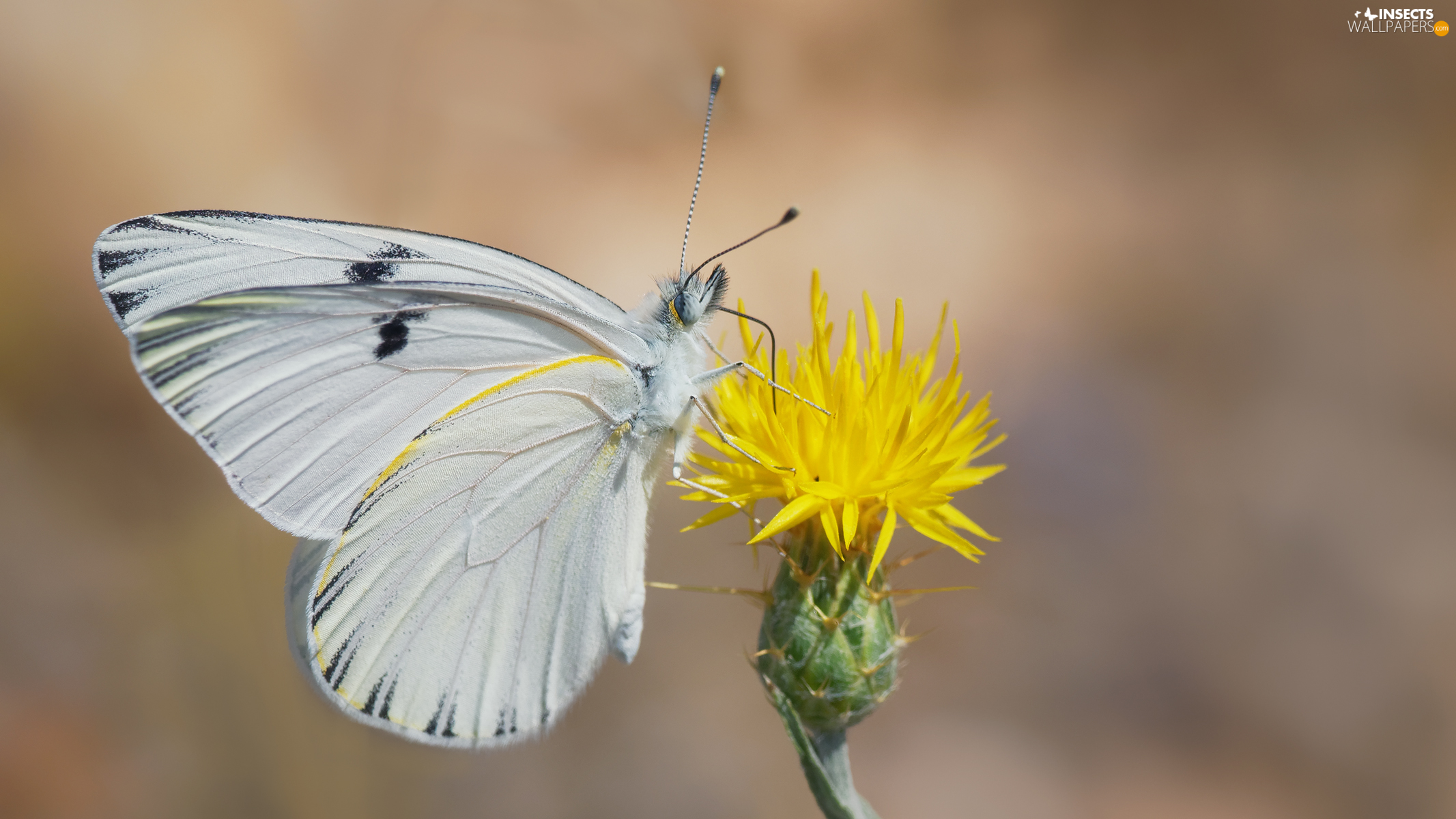 White, Yellow, Colourfull Flowers, butterfly
