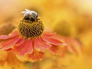 blur, Close, Helenium, bee, Colourfull Flowers