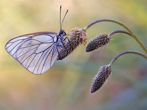 plant, butterfly, Black-veined White