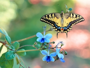 butterfly, Blue, Flowers, Oct Queen