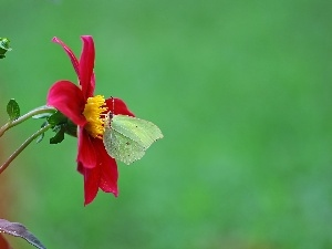 red hot, butterfly, Brimstone Butterfly, Dalia