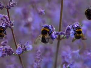 insects, purple, Flowers, Bumblebees