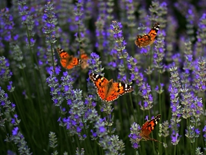 Flowers, butterflies, Painted Lady, lavender