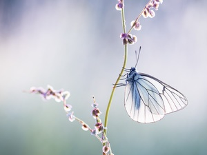 blur, butterfly, Black-veined White