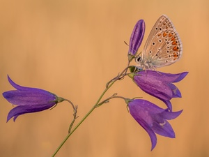 Flowers, butterfly, Dusky Icarus, ringtones