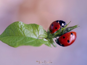 Close, ladybugs, leaf