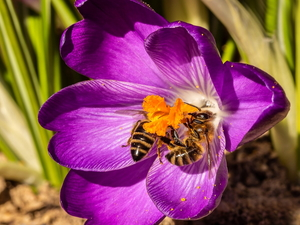 Bees, Colourfull Flowers, crocus