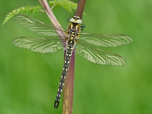 dragon-fly, plant