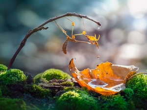 leaf, Close, drops, water, Moss, mantis