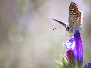Colourfull Flowers, butterfly, Dusky Icarus