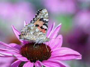 Painted Lady, Colourfull Flowers, echinacea, butterfly