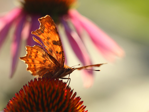 butterfly, Insect, echinacea, Mermaid Ceik