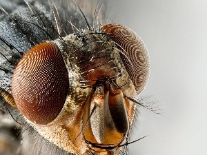 Eyes, Close, fly, rapprochement, Insect