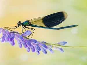 dragon-fly, Colourfull Flowers, Close, blue