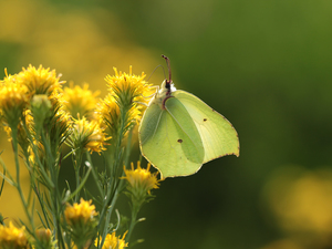 butterfly, Insect, Flowers, Gonepteryx rhamni