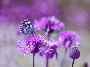 butterfly, purple, Flowers, marbled chessboard