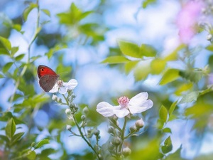 Gatekeeper, blurry background, Flowers, butterfly, White