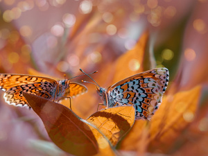 Leaf, butterflies, fuzzy, Red-Band Fritillary, Two cars, Bokeh, background