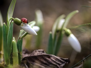 ladybird, leaf, background, blades, fuzzy, snowdrops, Flowers, grass