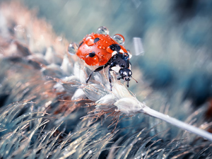 water, ear, Close, stalk, plant, drops, ladybird, grass
