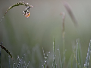 butterfly, grass, drops, Orange Tip
