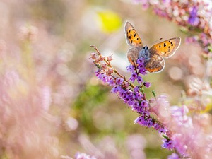 butterfly, Flowers, heather, American Copper