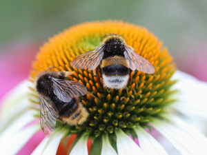 echinacea, Bumblebees, insects, Colourfull Flowers