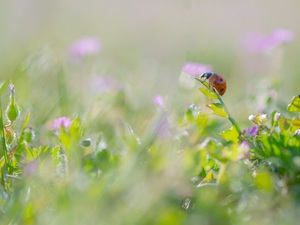 grass, ladybird, blurry background, Flowers