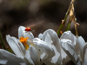 ladybird, White, crocuses