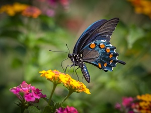 butterfly, Flowers, animals, Old World Wwallowtail