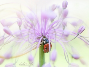 Close, Pink, Colourfull Flowers, ladybird