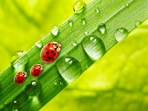 Rosy, stalk, ladybugs, drops, Three