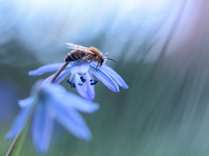 Siberian squill, bee