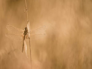 grass, dragon-fly, stalk