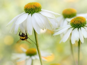 Flowers, echinacea, bee, White